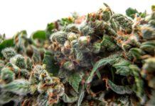 ¿Cómo Elegir las Semillas para el Cultivo de Marihuana?
