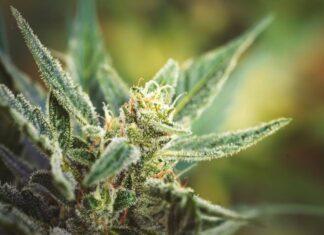¿Cómo Afectan los Tricomas a la Marihuana?