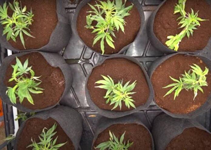 Guía para Cultivar Marihuana - Cómo Cultivar Marihuana