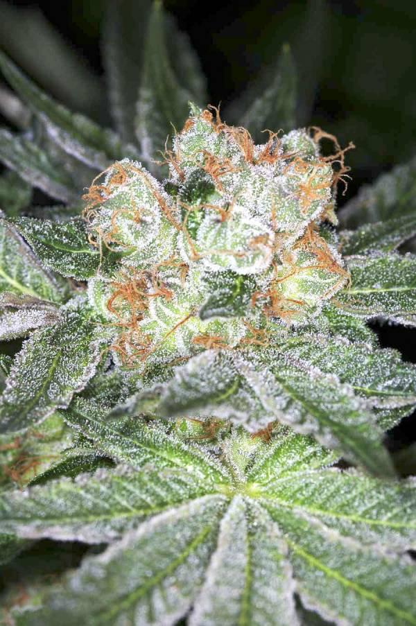 Fractal - Semilla de Marihuana Fractal del Banco Divine Seeds