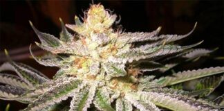 Northern Lights - Semilla de Marihuana Northern Lights