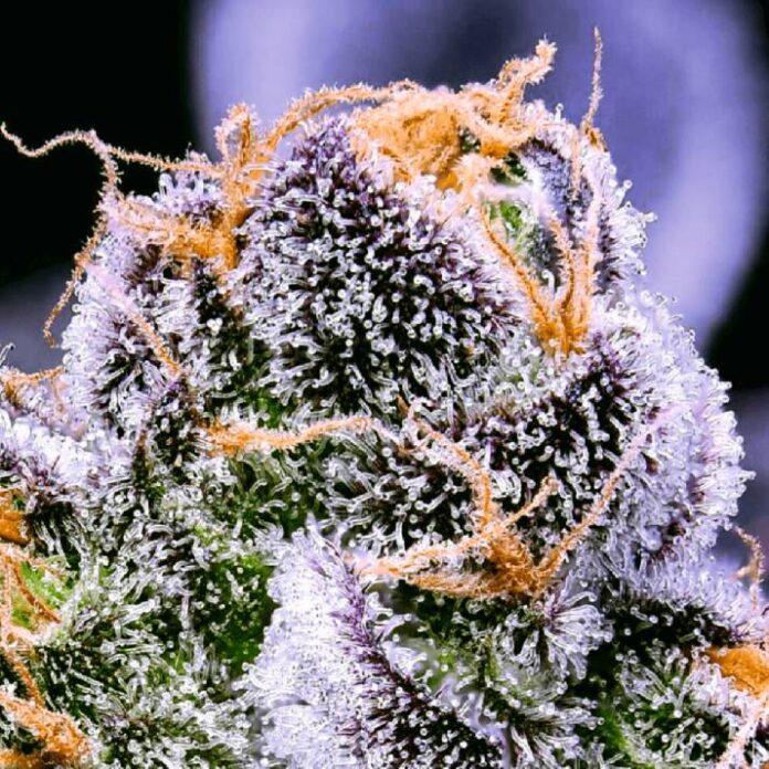 Auto 77 Days - Semilla de Marihuana Auto 77 Days