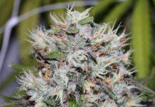 Auto Amnesia - Semilla de Marihuana Auto Amnesia