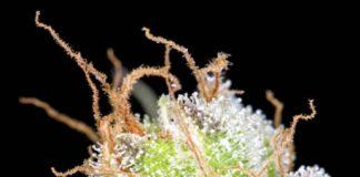 Auto Big Bang - Semilla de Marihuana Auto Big Bang