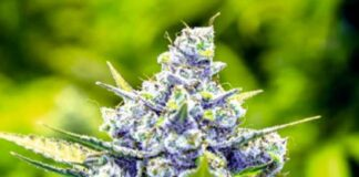 Blue Cheese - Semilla de Marihuana Blue Cheese