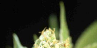 Auto Candy - Semilla de Marihuana Auto Candy