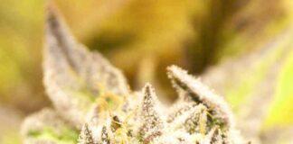 Auto Deadryder - Semilla de Marihuana Auto Deadryder