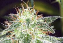 Auto White Widow - Semilla de Marihuana Auto White Widow