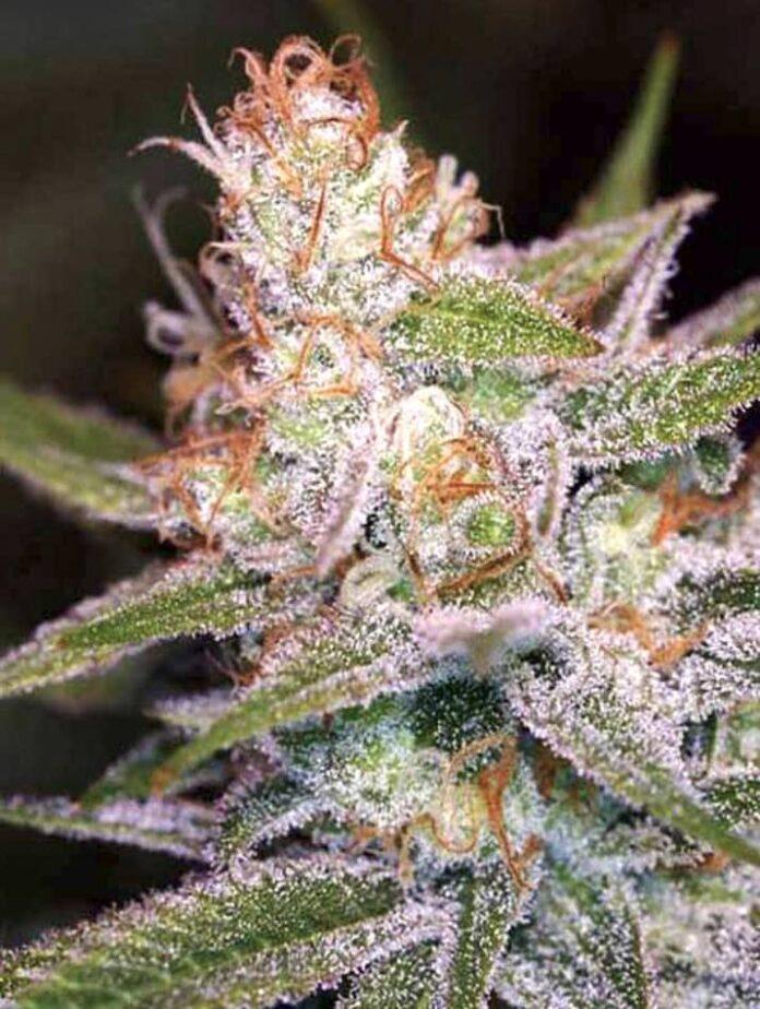 Divine Indica - Semilla de Marihuana Divine Indica