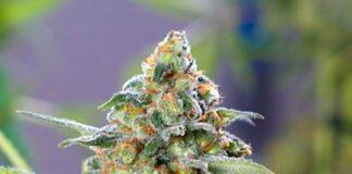 Divine Og Kush - Semilla de Marihuana Divine Og Kush