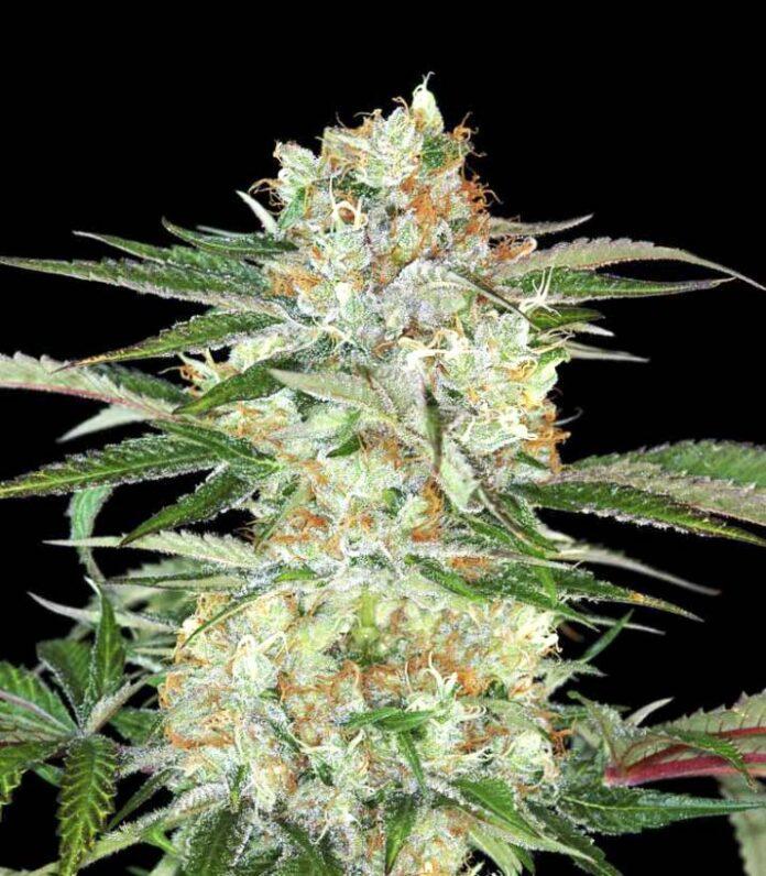 Divine Sativa - Semilla de Marihuana Divine Sativa