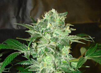 Mazar - Semilla de Marihuana Mazar del Banco de Divine Seeds