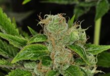 Banff - Semilla de Marihuana Banff