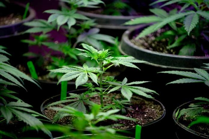 Las Mejores Semillas de Marihuana para Principiantes