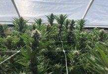 Las Mejores Semillas de Marihuana para el Cultivo al Aire Libre