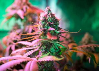 Cosechar Plantas de Marihuana Autoflorecientes