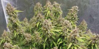 Humedad para las Plantas Autoflorecientes de Marihuana