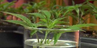Clonar Plantas Autoflorecientes de Marihuana