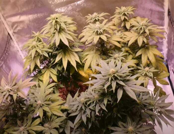Plantas de marihuana autoflorecientes