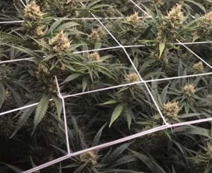 Remedios para Curar las Plantas de Marihuana