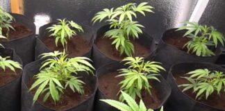 Desórdenes de los Nutrientes de la Planta de Marihuana
