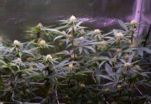 Plantas de Marihuana Autoflorecientes son Productivas
