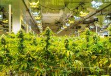 Cómo Minimizar el Consumo de Electricidad en el Cultivo de Marihuana