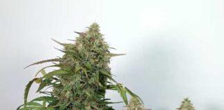 Variedades de Marihuana Autofloreciente vs Fotoperíodo