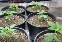 Cómo Ajustar los Niveles de pH en el Cultivo de Marihuana