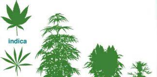 ¿Cómo Identificar los Diferentes Tipos de Hojas de Marihuana?