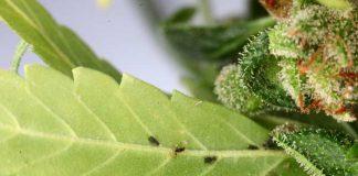 Matar los ácaros en las Plantas que están en las Macetas