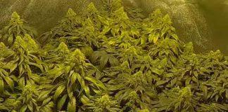 Proteger las Plantas de Marihuana de las Plagas