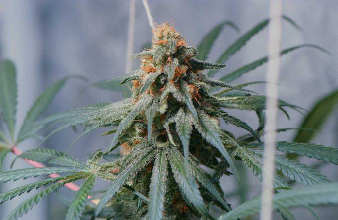 ¿Por qué Lavar las Plantas de marihuana Autoflorecientes?