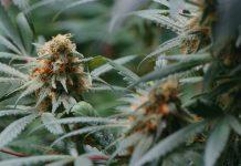 ¿Cuáles son los Nutrientes Secundarios para las Plantas de Marihuana?