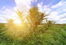 ¿Cómo Cultivar Cannabis Durante la Primavera?