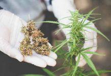 Iluminación de Plantas de Marihuana Autoflorecientes
