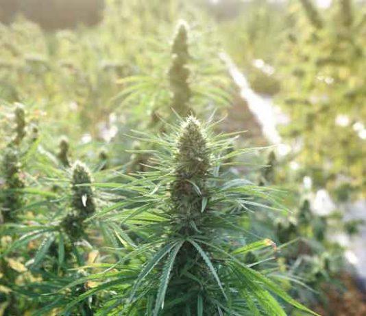 Consejos para el Cultivo de Marihuana Autofloreciente