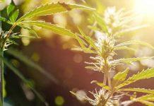 Las Principales Cepas de Marihuana para la Depresión