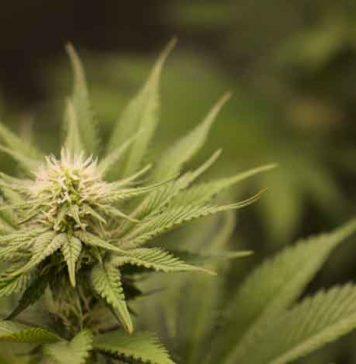 Cultivando Cannabis Naturalmente