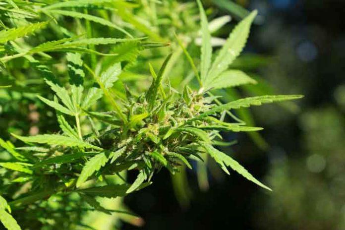 Usos y Variedades de la Marihuana